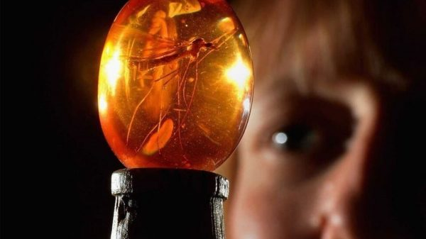 Jurassic Park Mosquito Preserved in Amber